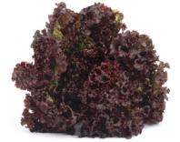 Lettuce purple