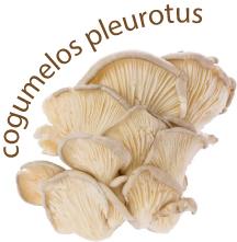 cogumelos pleurotis