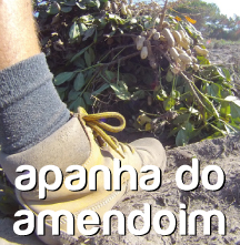 apanha do amendoim