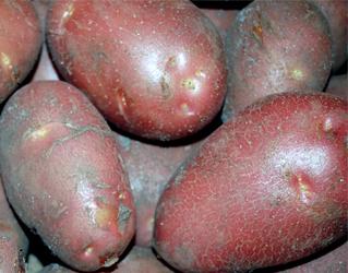 purple new potato