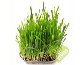 bio vivos wheat grass