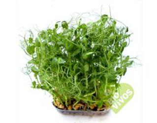 bio vivos pea sprouts