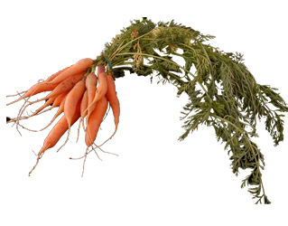 carrot with tops