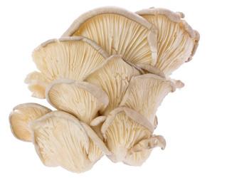 pleurotus mushrooms kg